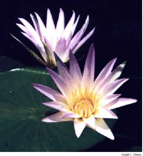 The lotus in ancient egypt and the bible by joseph l thimes blue lotus blossoms nymphaea caerulea in ancient egyptian mightylinksfo
